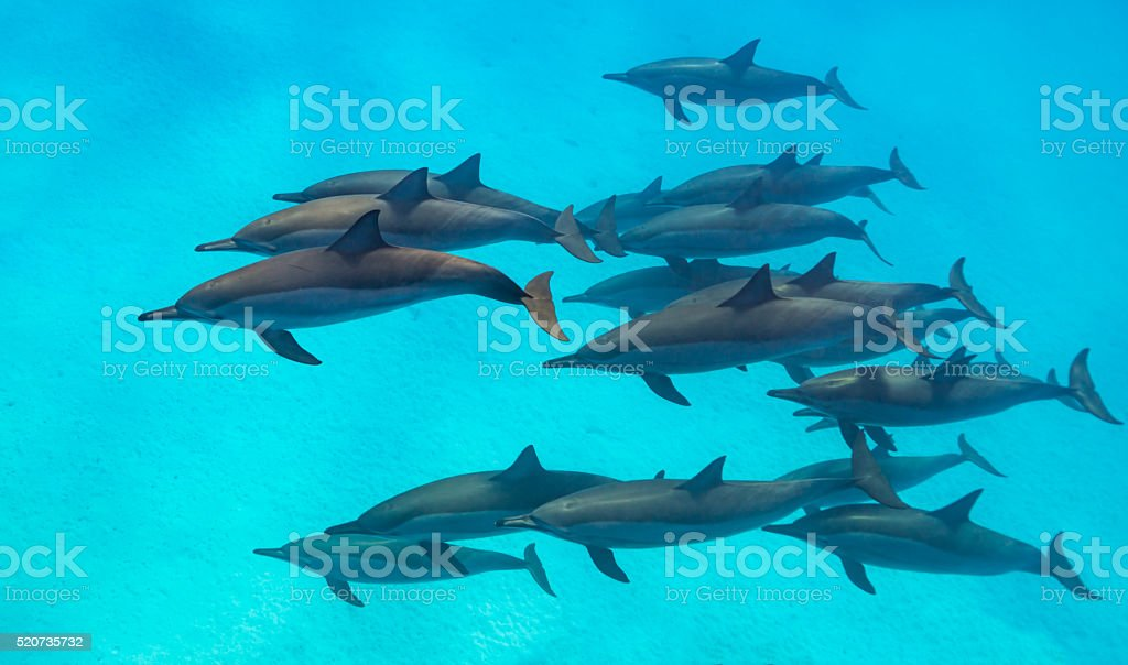 Spinner dolphins scene from above stock photo
