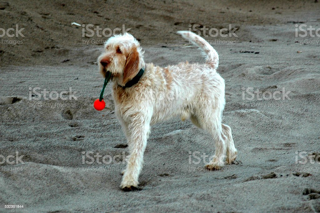Spinone Dog stock photo