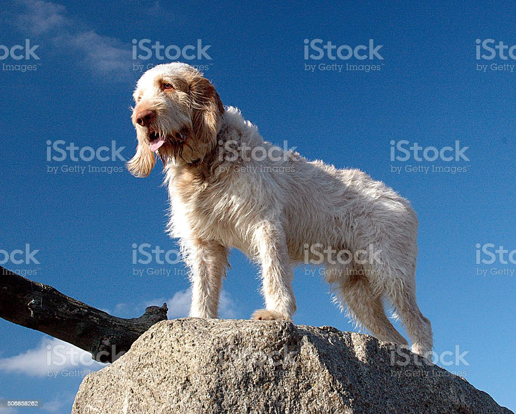Spinone stock photo