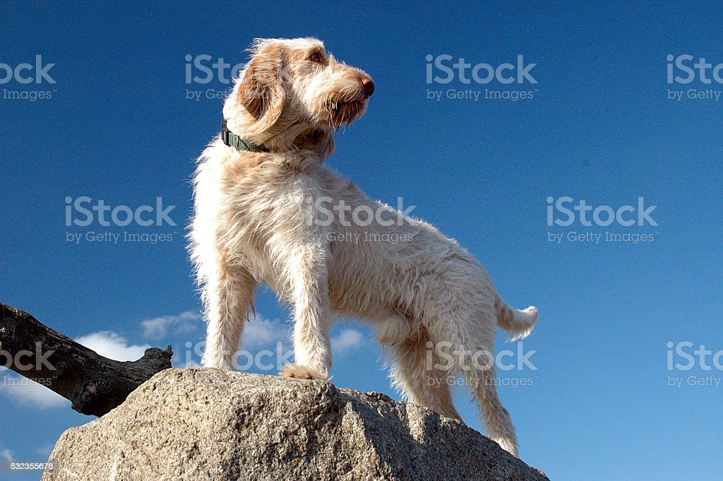 Spinone #2 stock photo