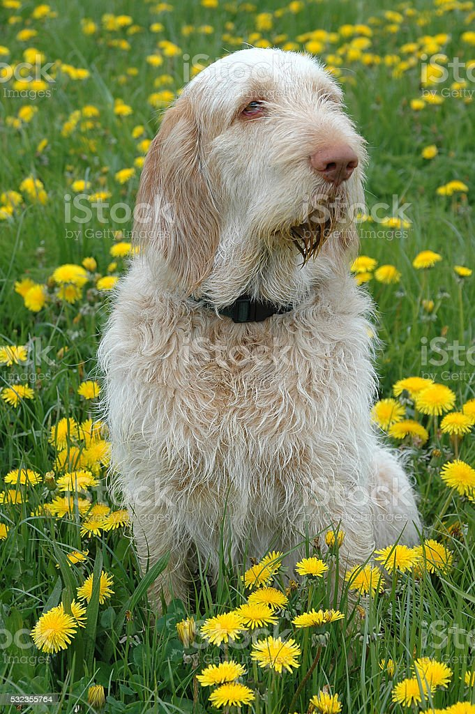 Spinone #3 stock photo