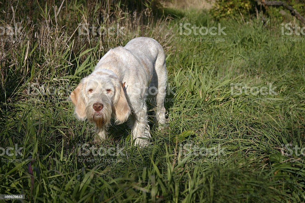 Spinone hunting stock photo