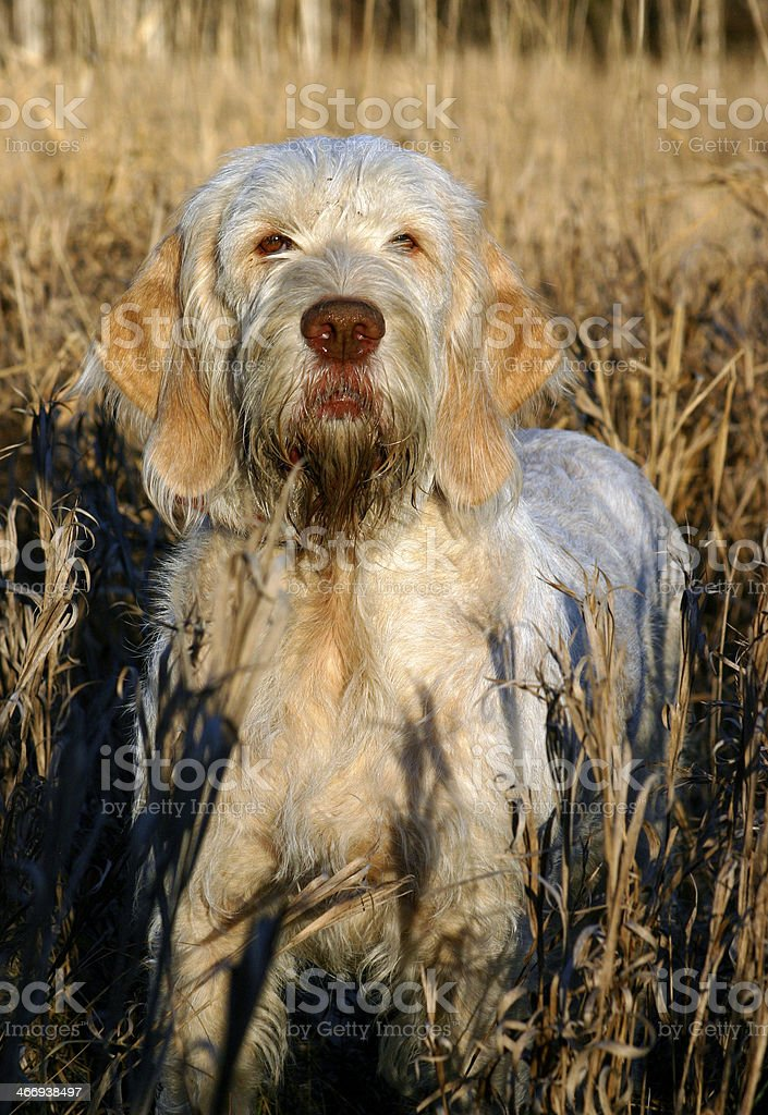 Spinone in tall grass stock photo