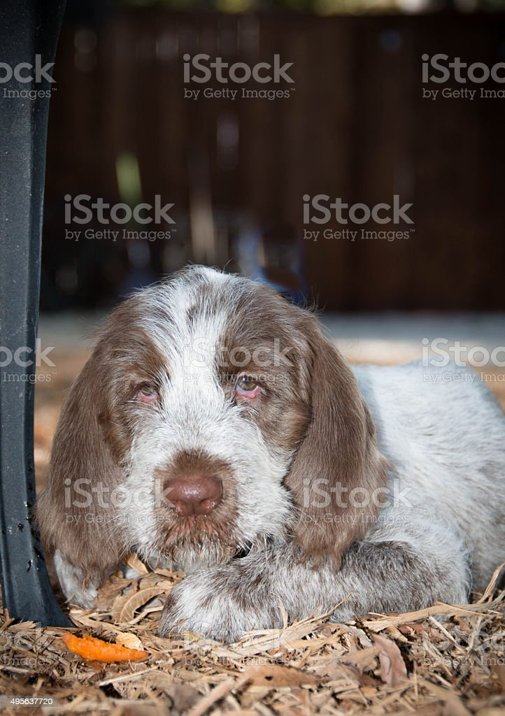 Spinone Italiano 9 week old cute puppy dog_3 stock photo