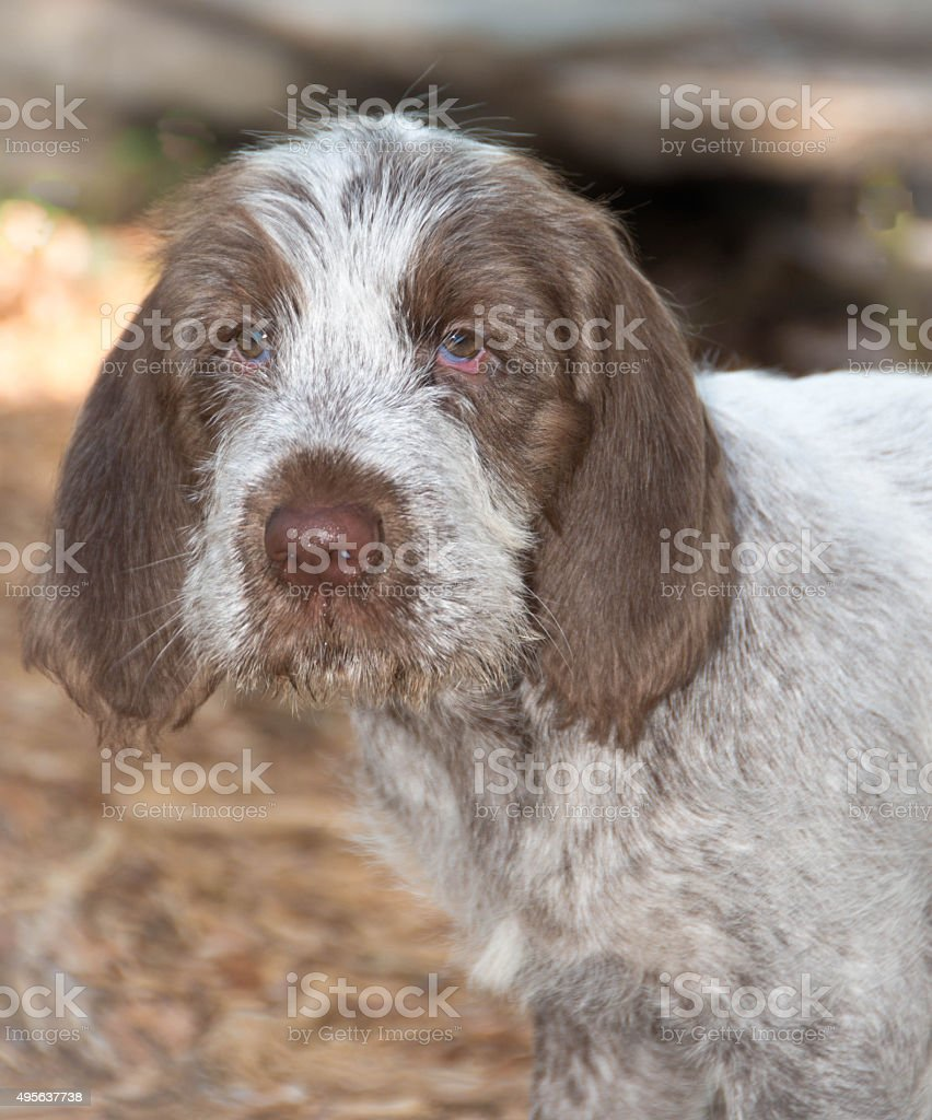 Spinone Italiano 9 week old cute puppy dog_5 stock photo