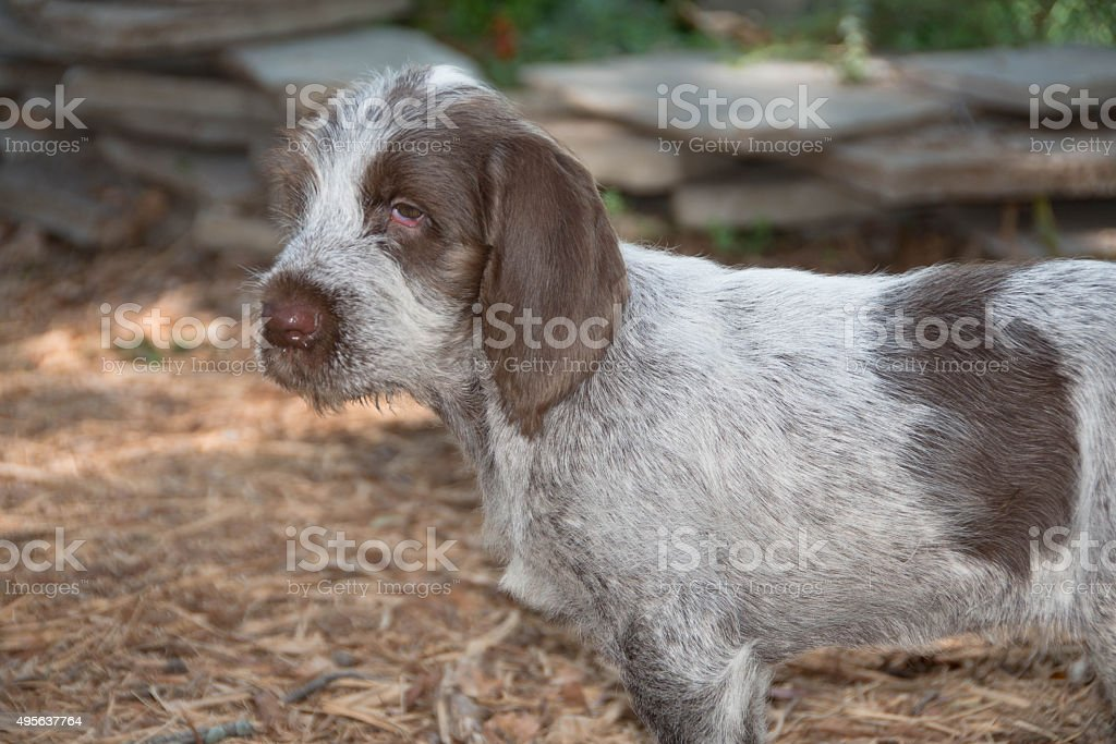 Spinone Italiano 9 week old cute puppy dog_8 stock photo