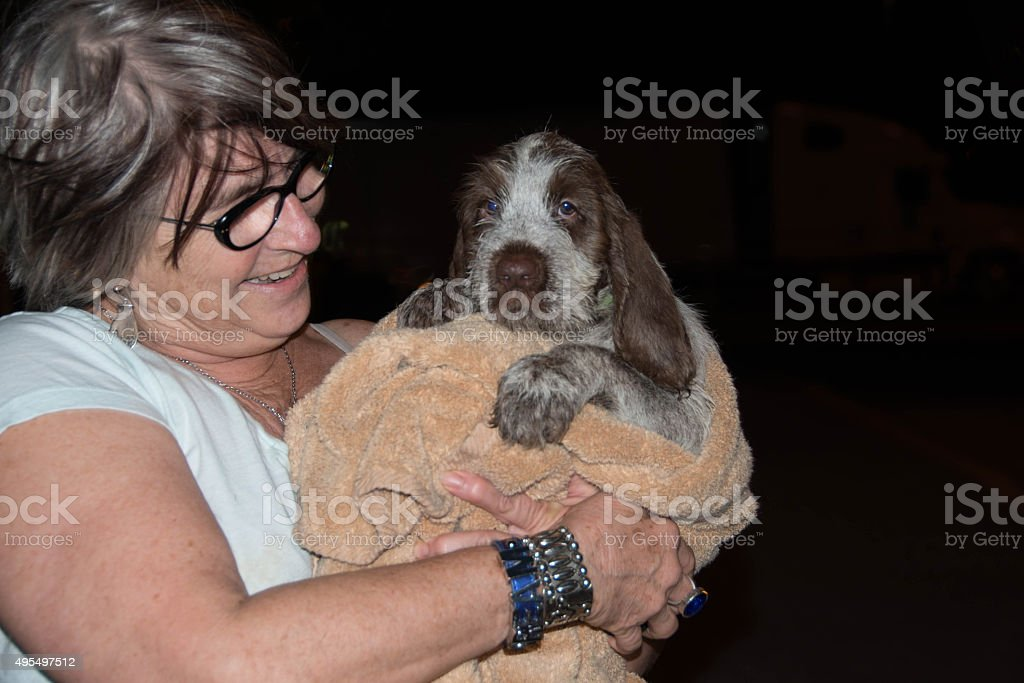 Spinone Italiano puppy with senior adult stock photo