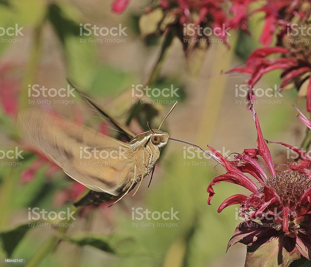Spinx Moth stock photo