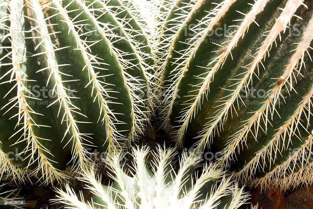 Spiny Barrel Cacti in Desert Garden stock photo