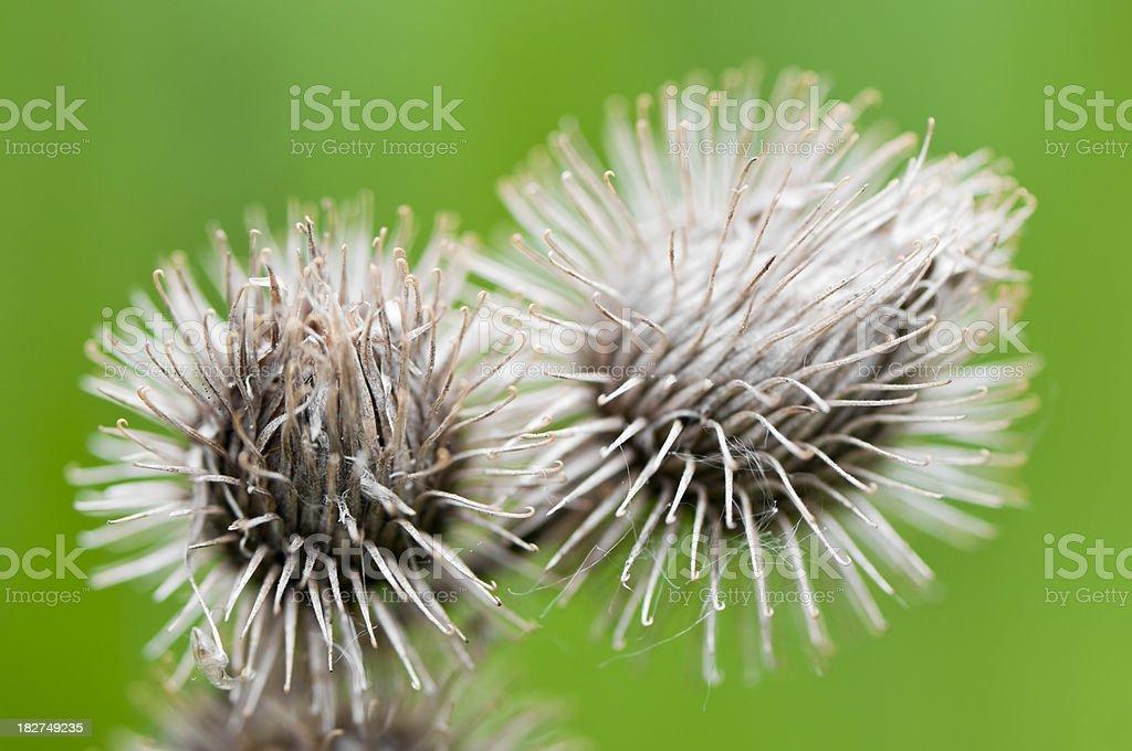 Spiny fruits stock photo