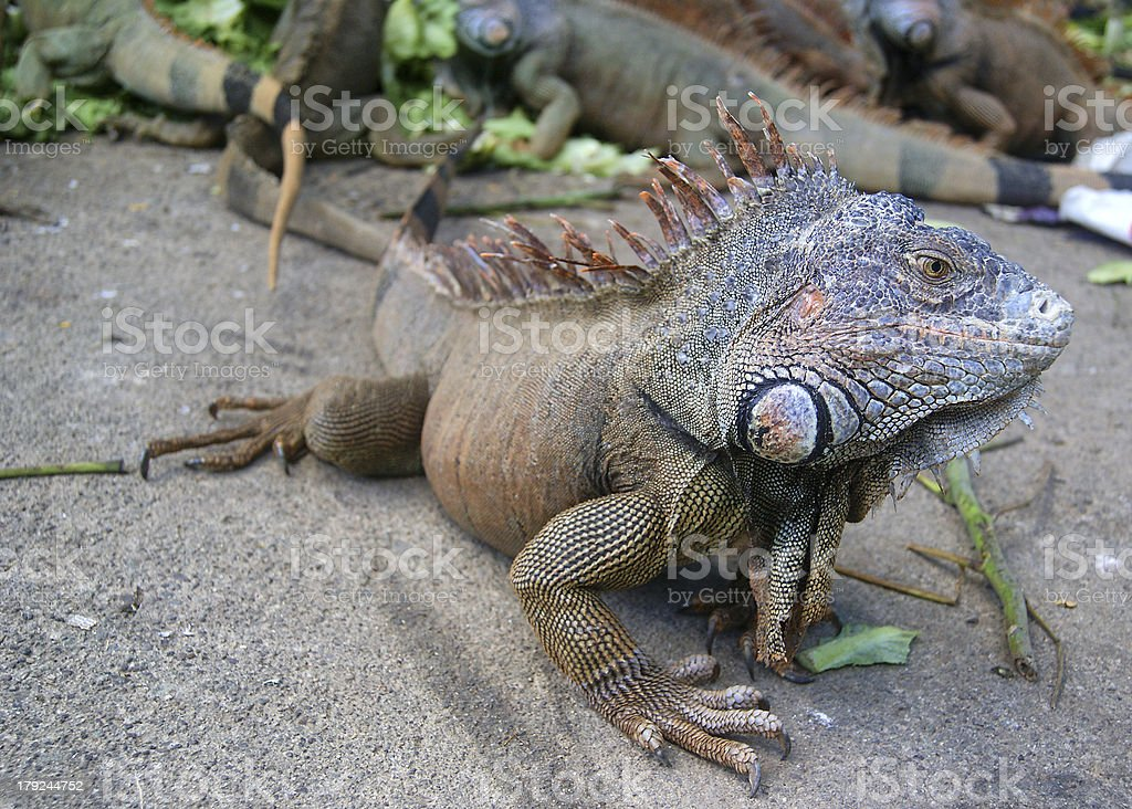Spiny Iguana with friends royalty-free stock photo