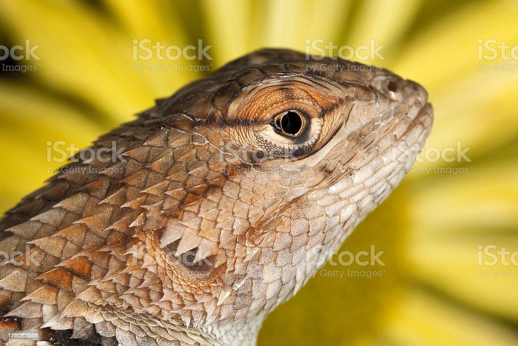 Spiny Lizard with Daisy Background stock photo