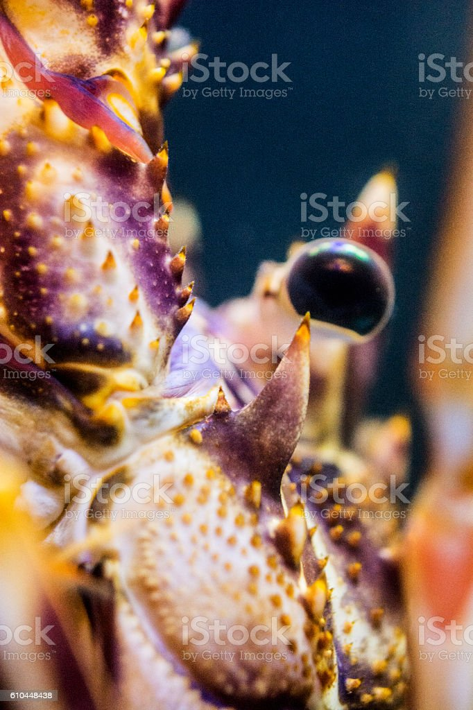Spiny lobster close-up - monster eye stock photo