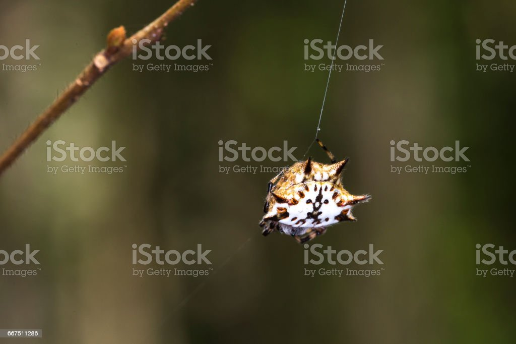 Spiny orb-weaver, genus Gasteracantha (pres. Gasteracantha versicolor) also called crab spider in Ma Da forest, Viet Nam stock photo
