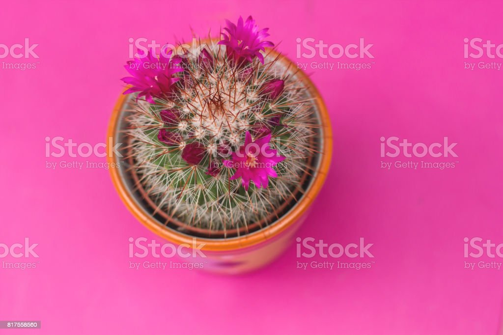 spiny pincushion cactus stock photo