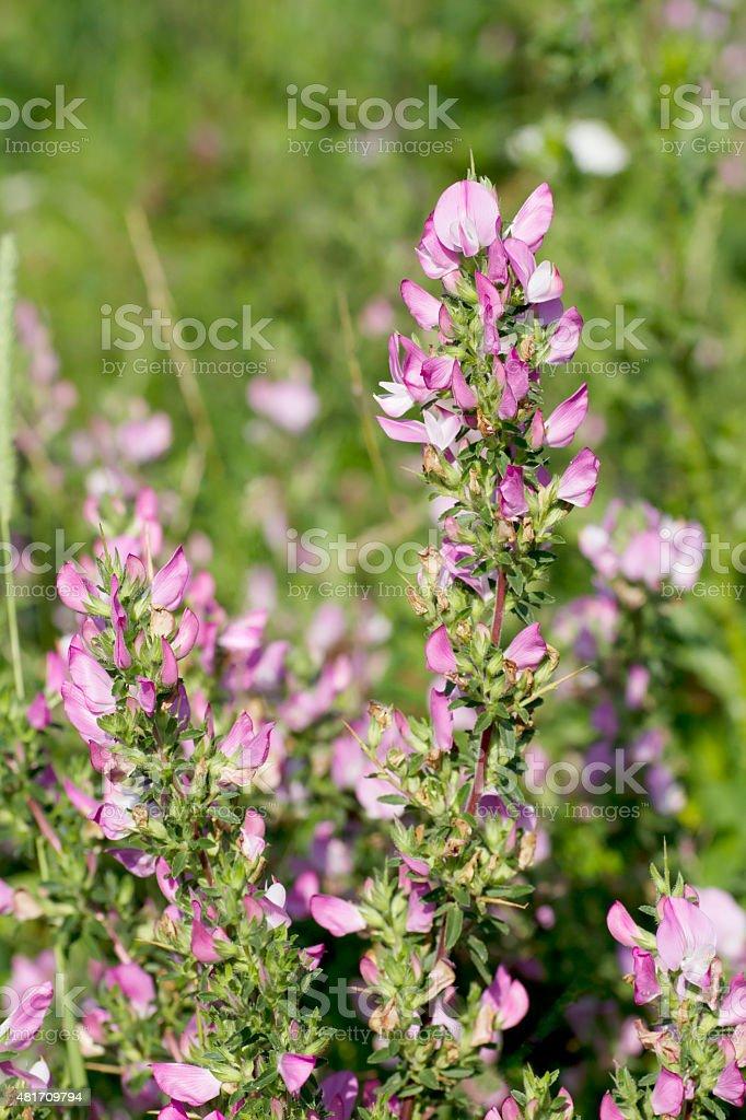 Spiny Rest harrow (Ononis spinosa) stock photo