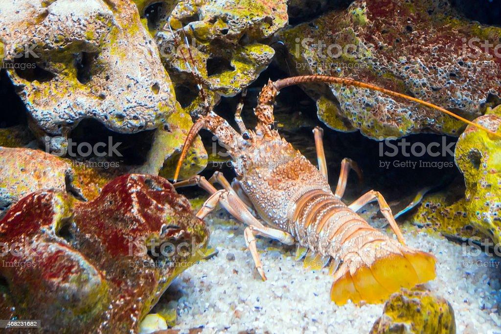 Spiny Rock Lobsters (Jasus edwardsii) stock photo