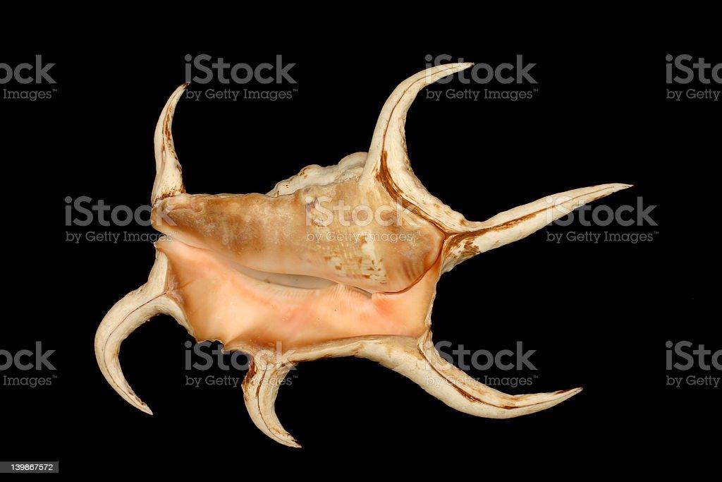 Spiny seashell stock photo