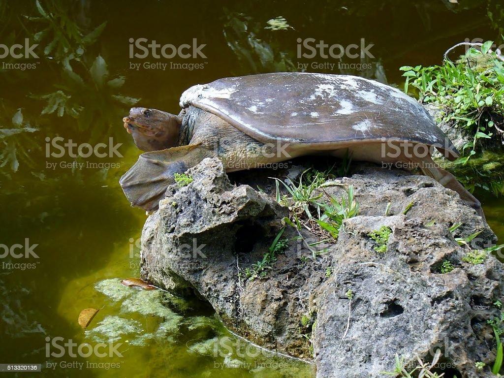 Spiny softshell turtle stock photo