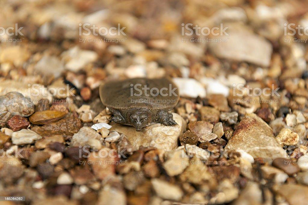 Spiny Soft-shelled Turtle stock photo