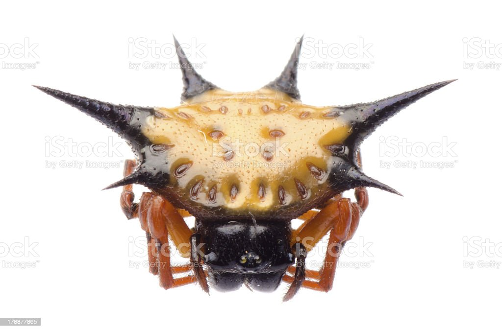spiny spider royalty-free stock photo
