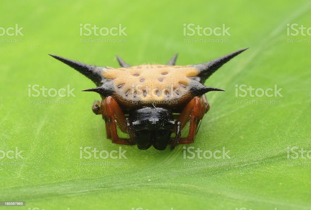 spiny spider stock photo