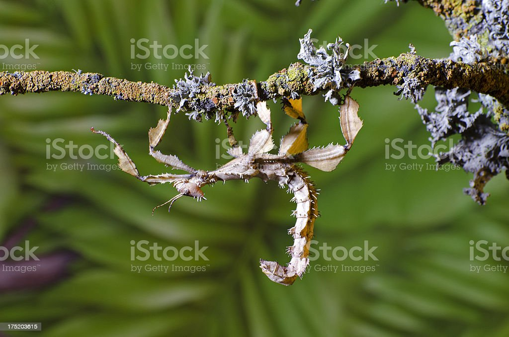 spiny stick insect  Extatosoma tiaratum royalty-free stock photo