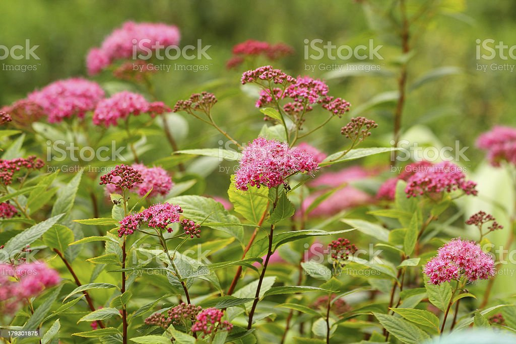 Spiraea japonic royalty-free stock photo