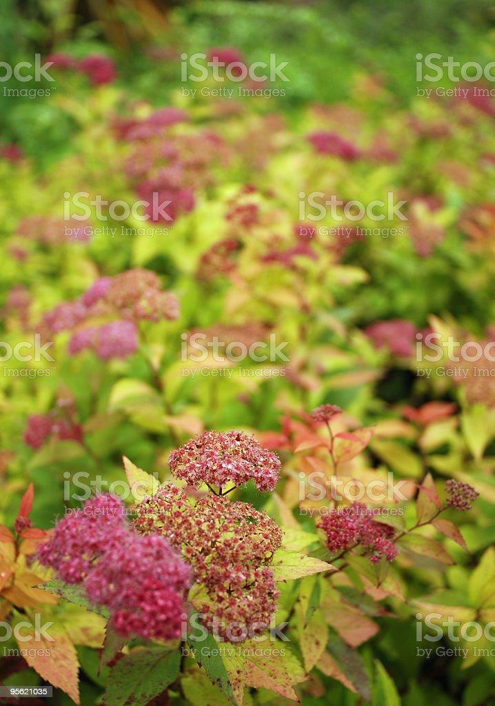 Spiraea japonica 'Magic Carpet' stock photo