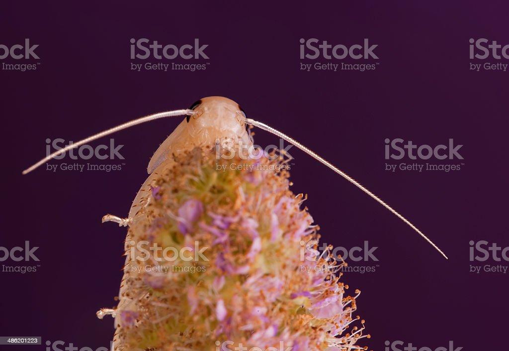 Spiraea salicifolia stock photo