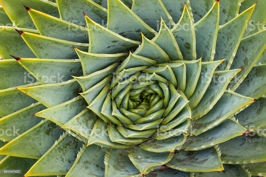 spiral aloe cacti stock photo