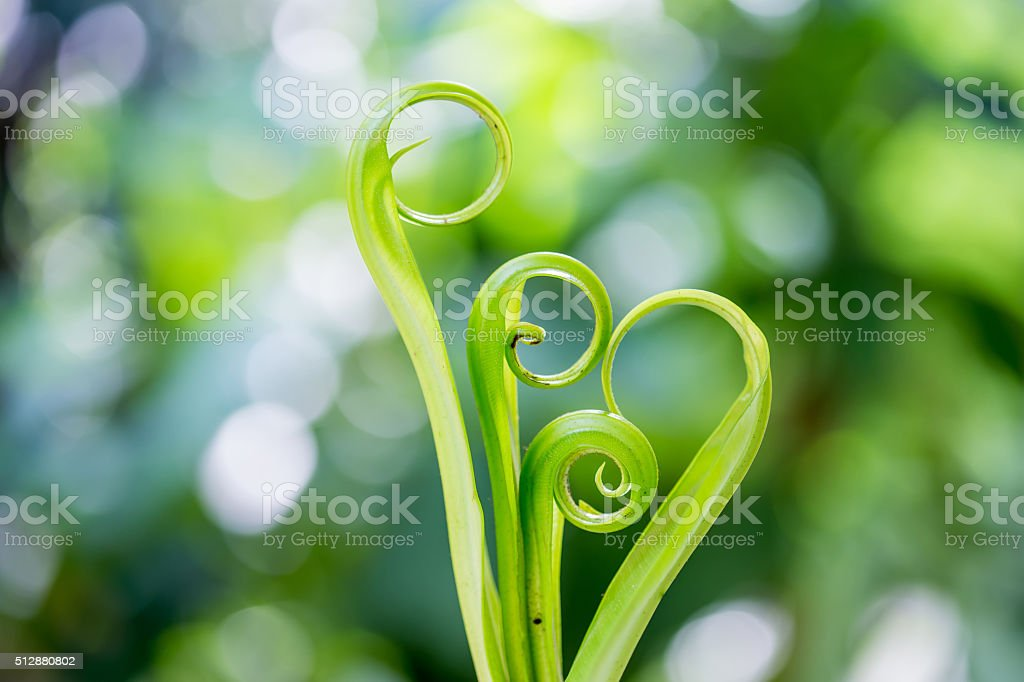 Spiral green leaf,Fern leaf close-up with dew. stock photo