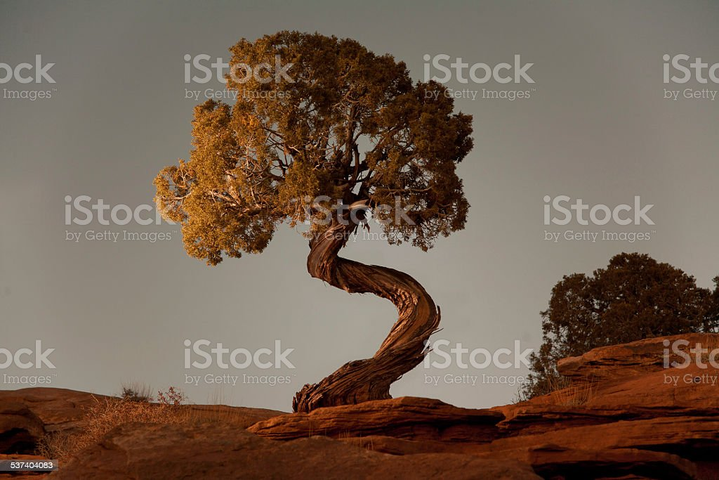 Spiral Juniper stock photo