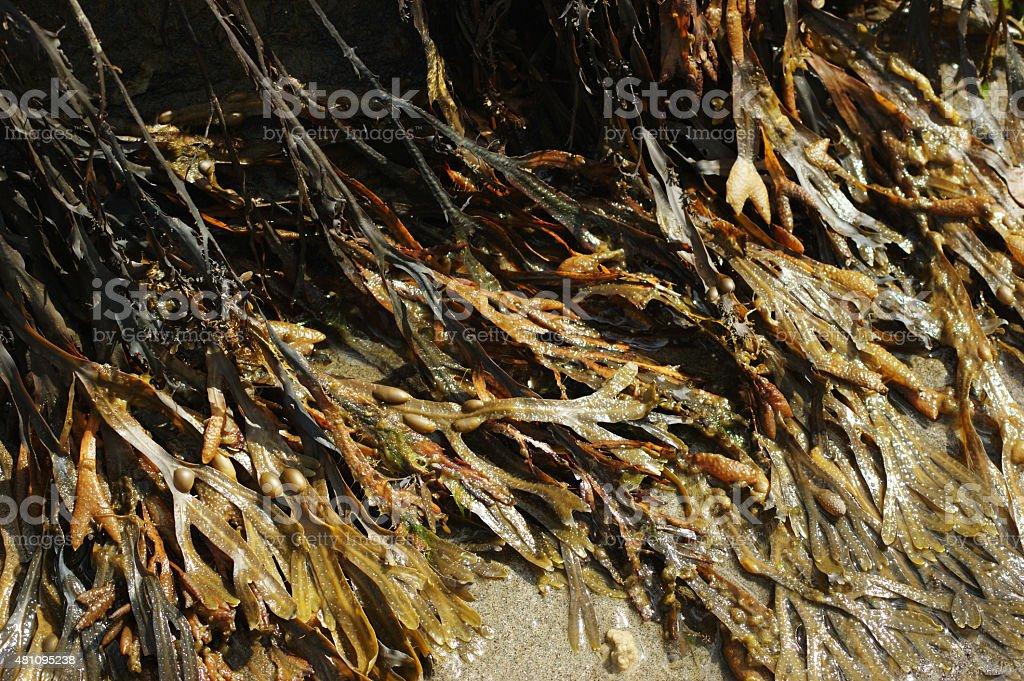 Spiral Wrack and Bladder Wrack Seaweeds stock photo