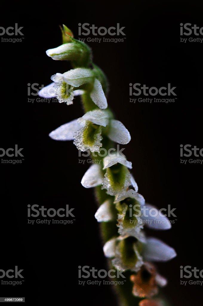 spiranthes spiralis royalty-free stock photo