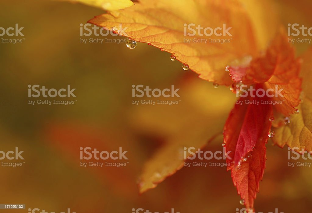 Spirea gold Flame with raindrops stock photo
