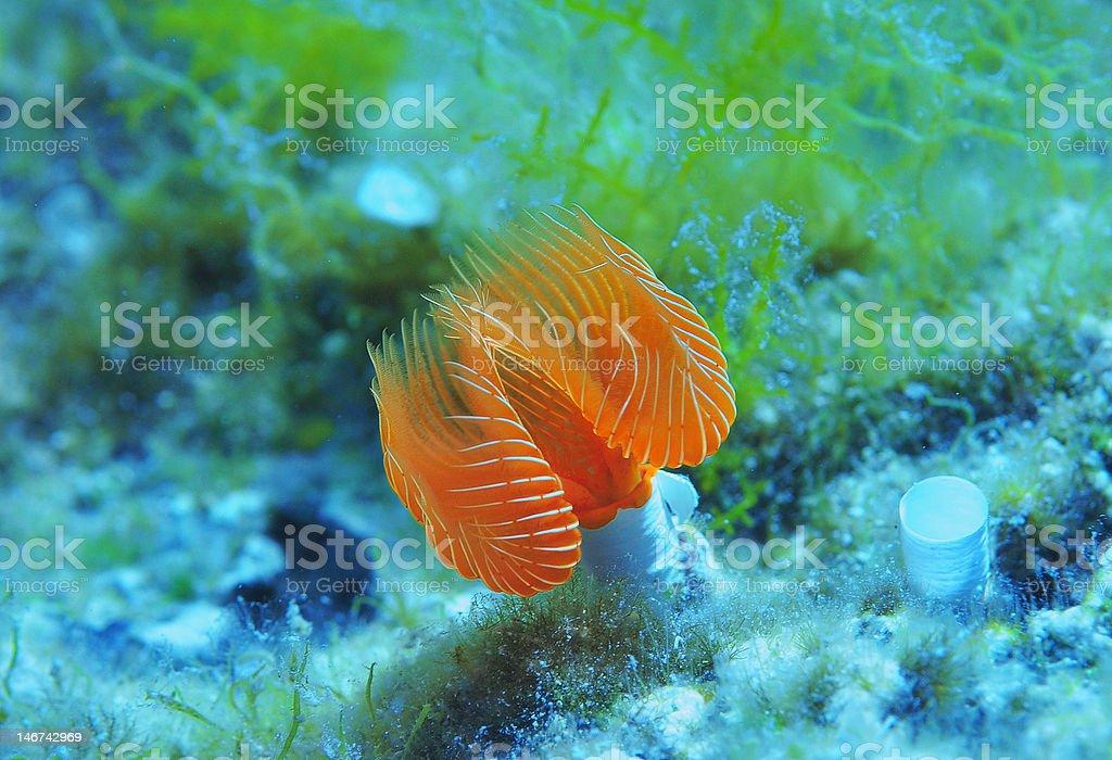 Spirographis spallanzanii stock photo