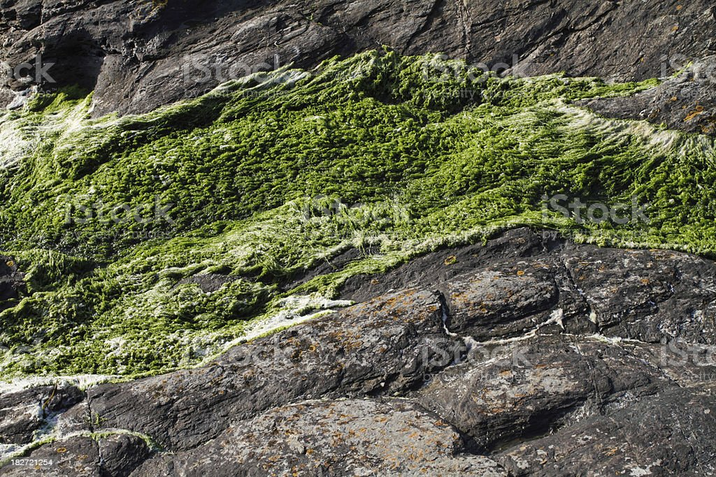 Spirogyra green alga growing on Cornish cliff stock photo