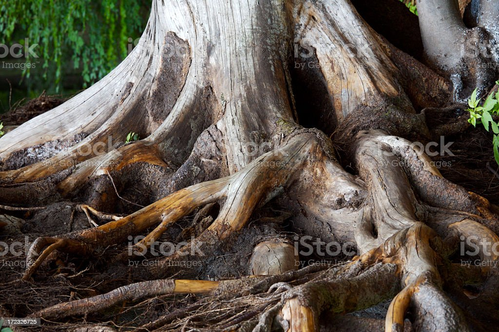 Spiry roots burrowing inside soil royalty-free stock photo