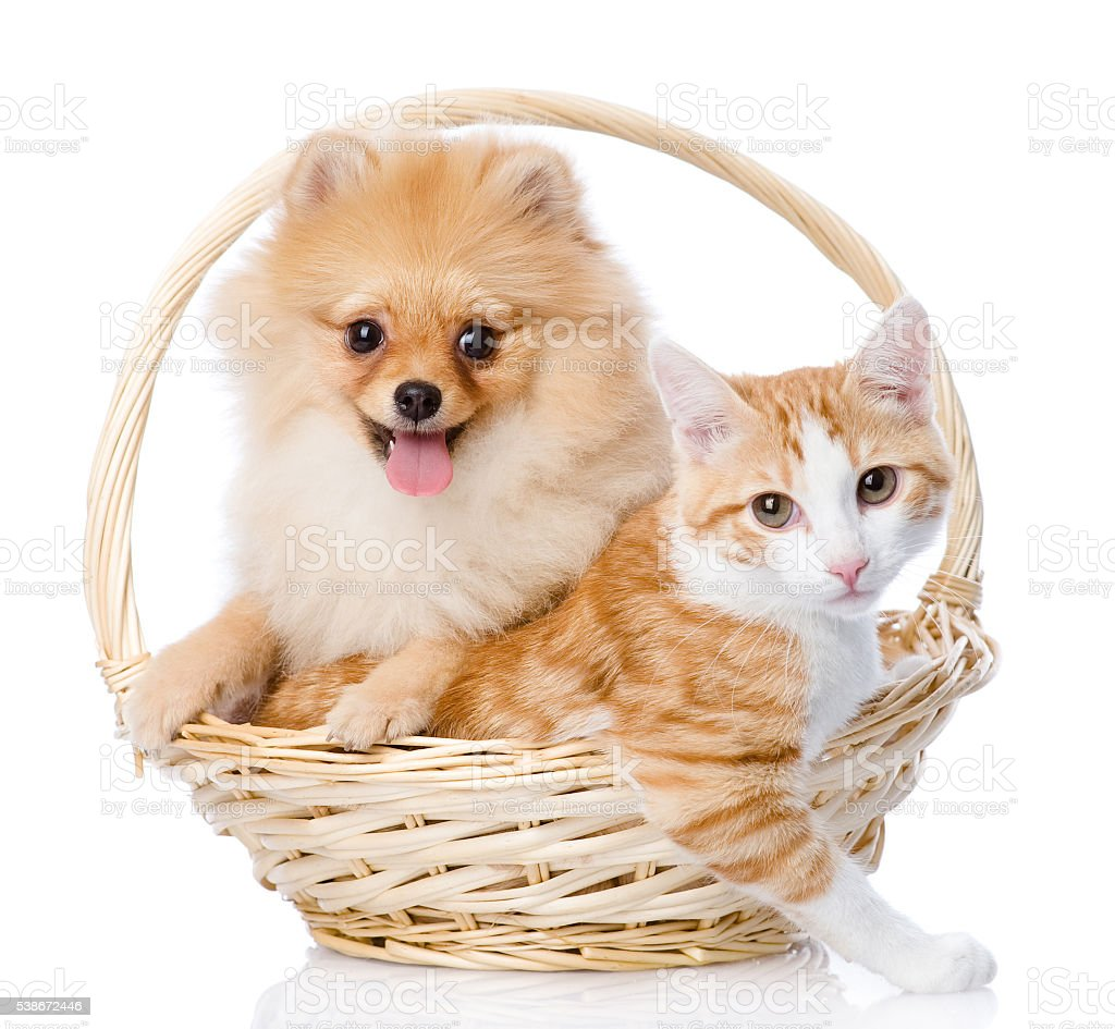 spitz dog embraces a cat in basket. looking at camera. stock photo