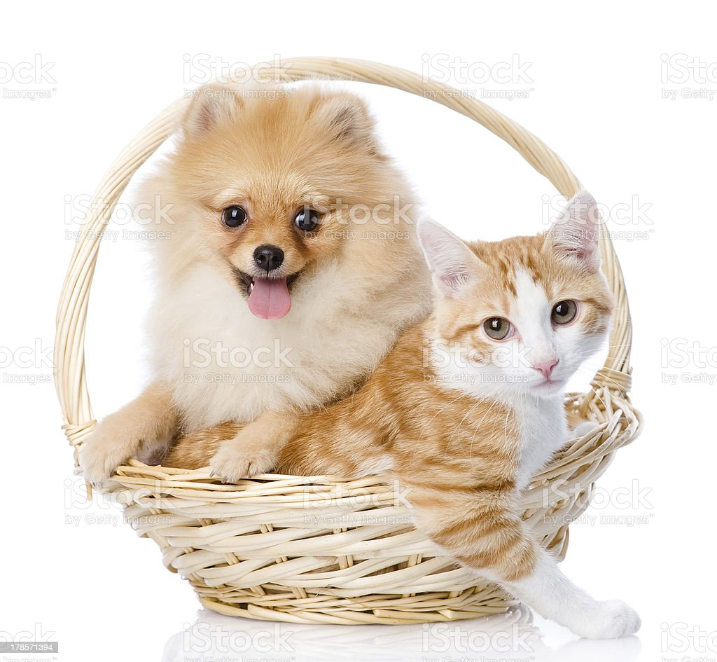 spitz dog embraces a cat in basket stock photo