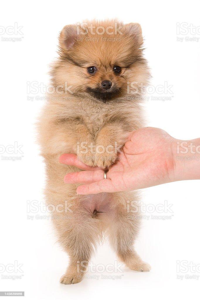 Spitz dog royalty-free stock photo