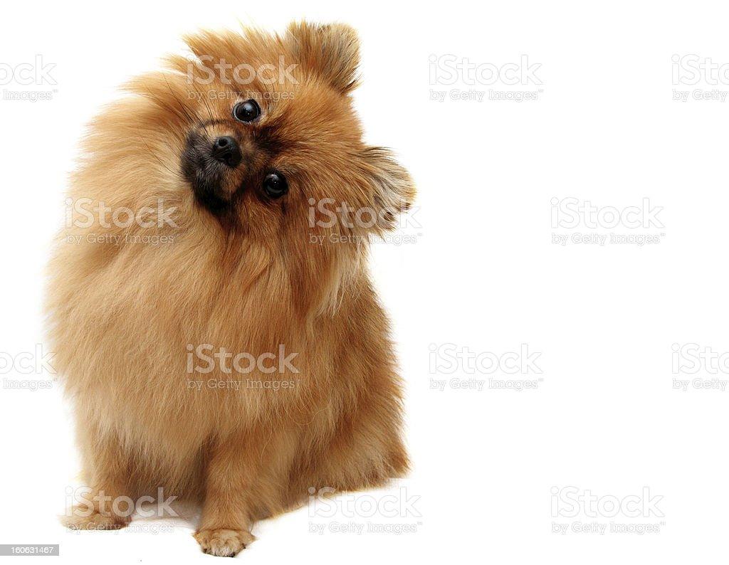 Spitz dog shot on a white background royalty-free stock photo