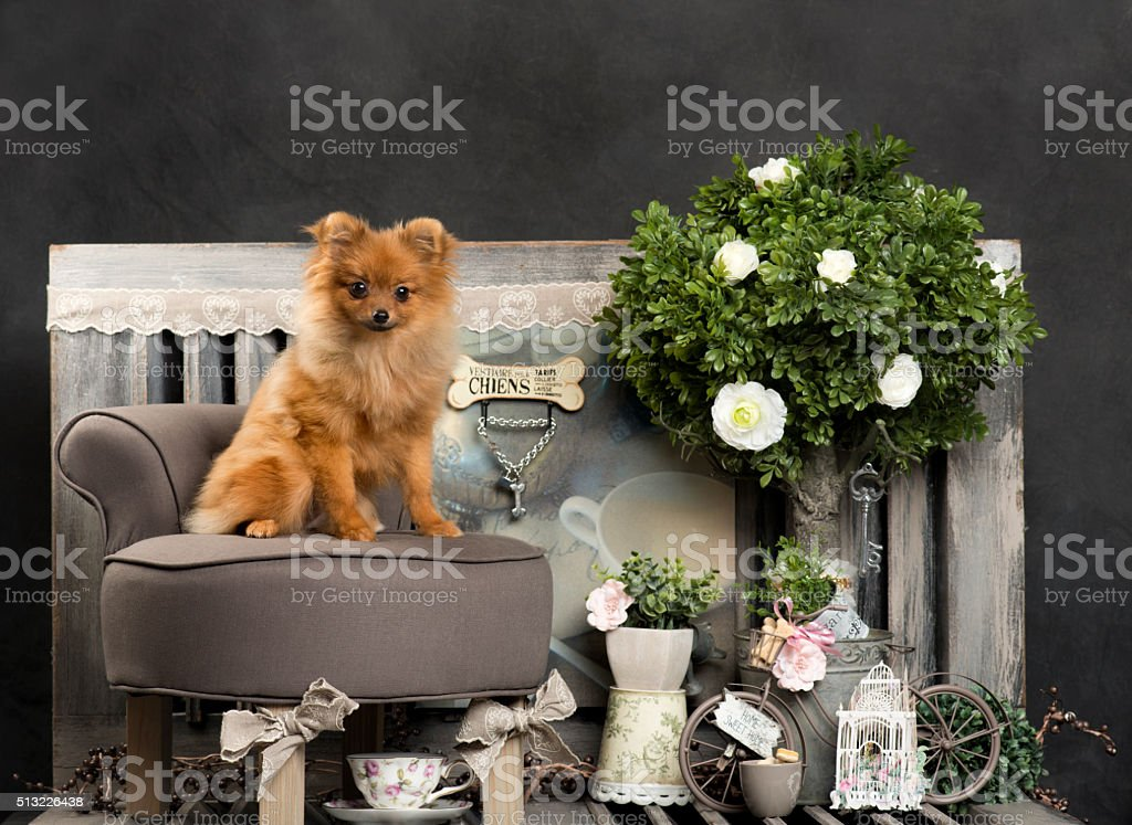 Spitz in front of a rustic background stock photo