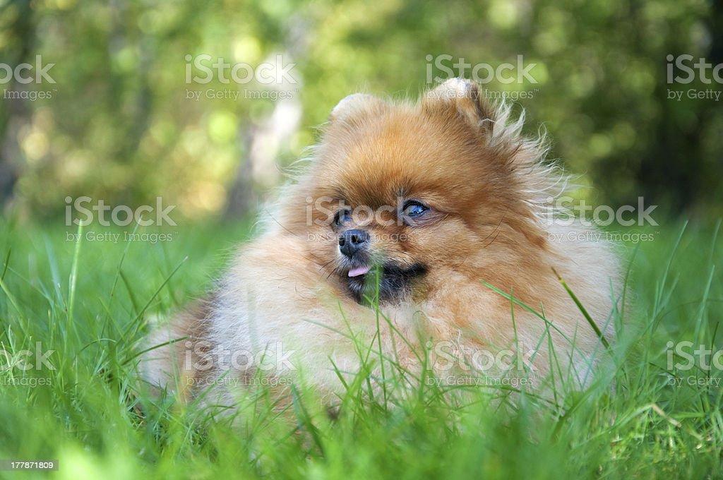 spitz, Pomeranian dog in city park royalty-free stock photo