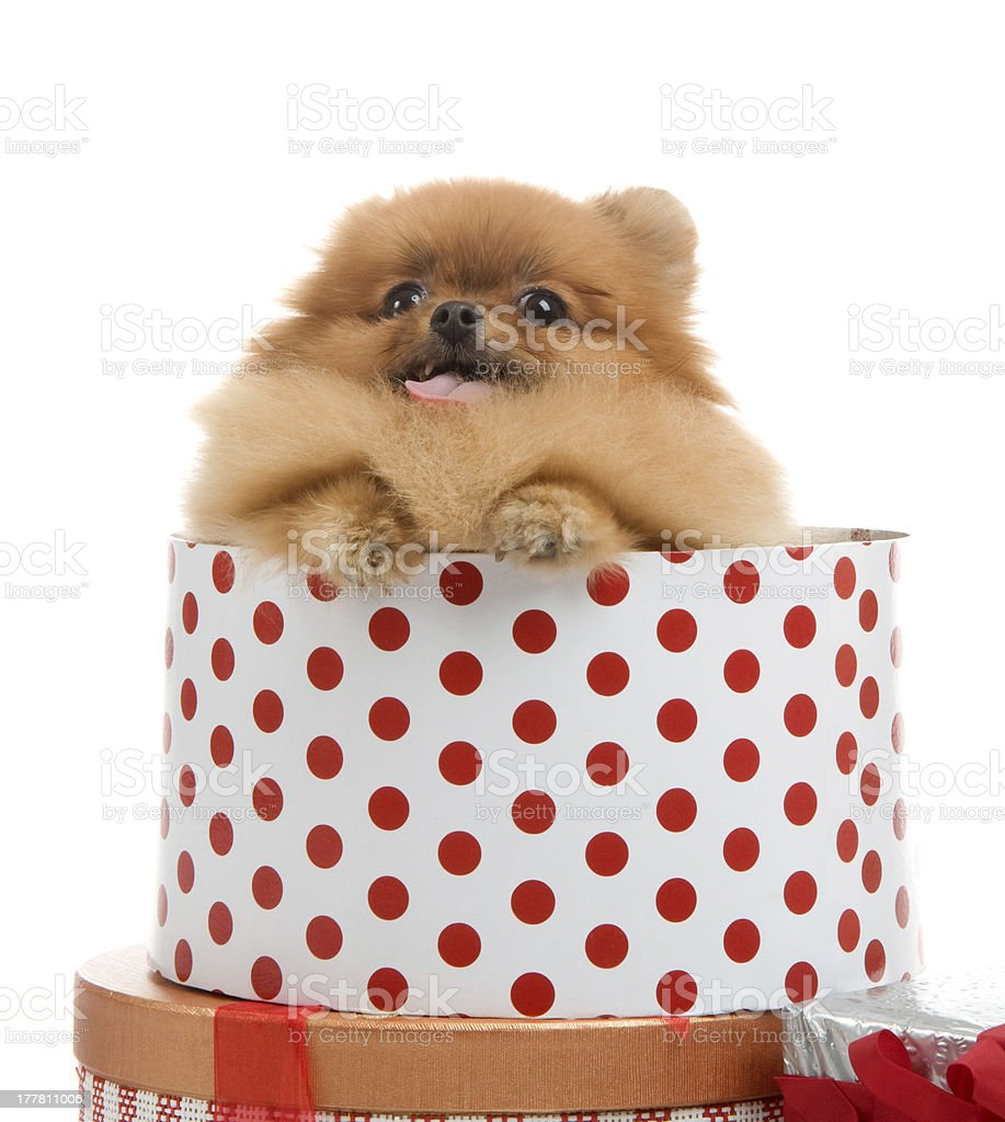 spitz, Pomeranian dog in gift-box , studio shot royalty-free stock photo