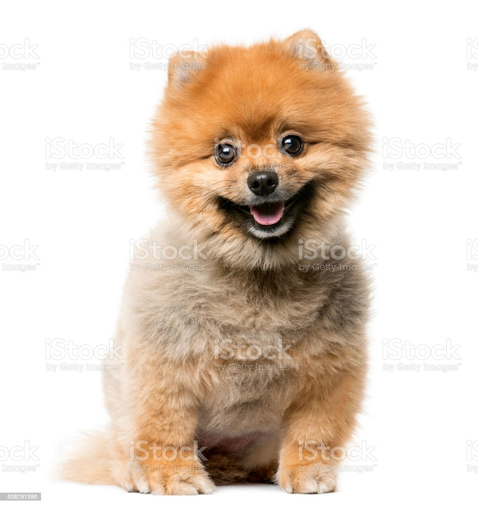 Spitz puppy sitting in front of a white background stock photo
