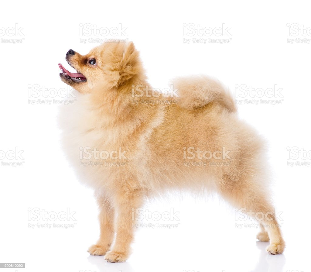 spitz puppy standing in profile. isolated on white background stock photo