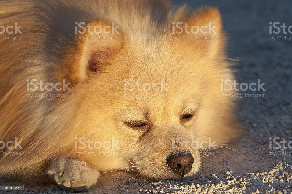 Spitz sleeping. royalty-free stock photo