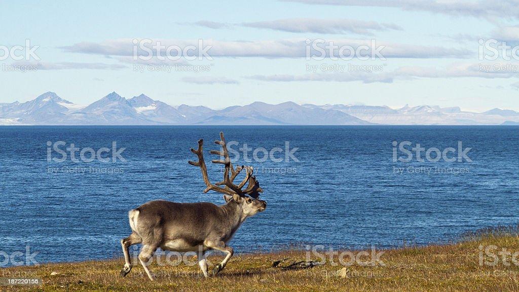 Spitzbergen Ren, Rangifer tarandus platyrhynchus, Svalbard reindeer stock photo